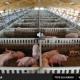 Pesta porcină ar putea afecta cursele regulate cu autocarul intre România si Spania